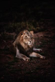 野生狮子图片素材