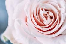 粉色玫瑰微距摄影图片大全