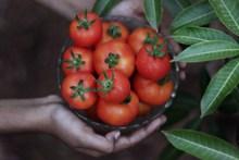 新鲜的西红柿图片下载