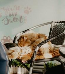 长毛波斯猫睡觉图片素材