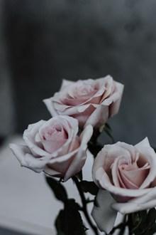 粉色玫瑰高清图片大全