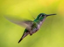 蜂鸟摄影高清图片
