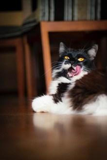 长毛田园猫精美图片
