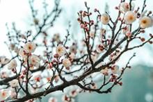 春天梅花盛开图片
