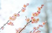 春天梅花美景 春天梅花美景大全高清图片