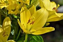 黄色百合花开花精美图片