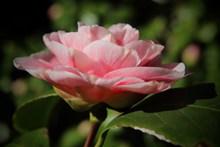 粉色茶花开花图片下载