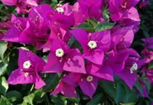 艳丽三角梅花朵图片素材