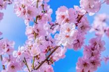 日本樱花观赏精美图片