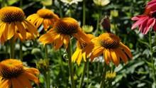 黄色松果菊花朵高清图片
