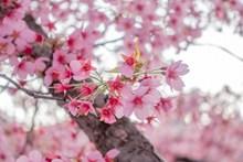 春天唯美粉色樱花图片下载