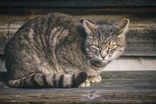 灰色家养猫咪高清图