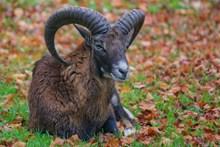 一只老山羊图片素材