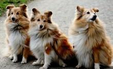 三只金毛狗图片大全