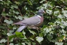 树藤上灰鸽子精美图片