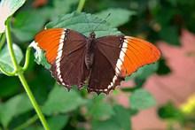 双色蝴蝶图片素材