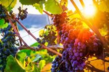 阳光下葡萄串高清图片