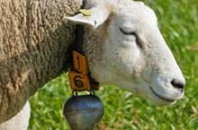 白色绵羊头部特写高清图片