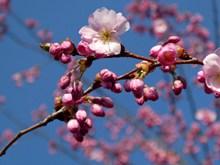樱花枝粉色樱花精美图片