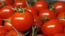新鲜番茄丰收高清图片