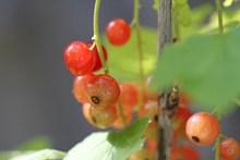 野浆果摄影图片