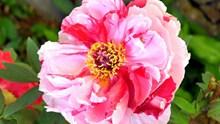 牡丹花朵微距高清图片