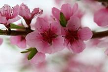 桃花开花摄影图片