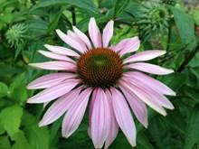 松果菊花朵绽放高清图片