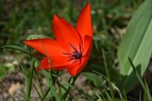 大红色郁金香花朵高清图
