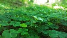 绿色三叶草高清高清图