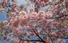 灿烂粉红色樱花高清图