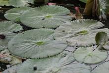 莲花池睡莲叶图片素材
