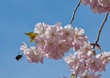 淡粉色樱花花朵精美图片
