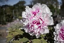 淡粉色牡丹花朵高清图