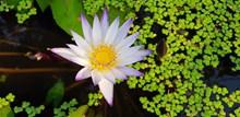 漂亮睡莲花朵绽放图片大全