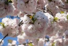 盛开茂盛樱花高清图