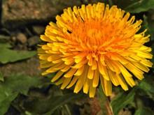 野生黄色花朵图片