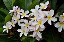 鸡蛋花花朵图片下载