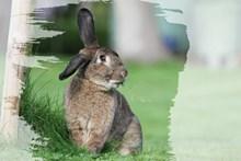 灰色兔子吃草图片大全
