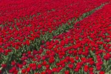红色郁金香花田观赏高清图片