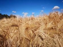成熟小麦粮食图片