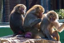 三只猴子图片