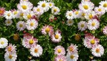 粉色野雏菊图片素材