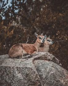 两只马鹿高清图