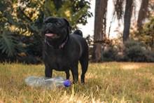 黑色纯种巴哥犬图片