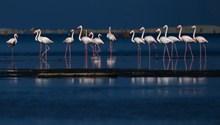 水边火烈鸟群精美图片