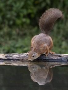 小松鼠喝水高清图