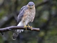 野生雀鹰图片素材