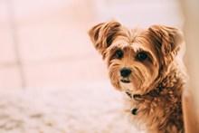 可爱贵宾犬写真精美图片