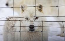 霸气白色雪狼图片素材